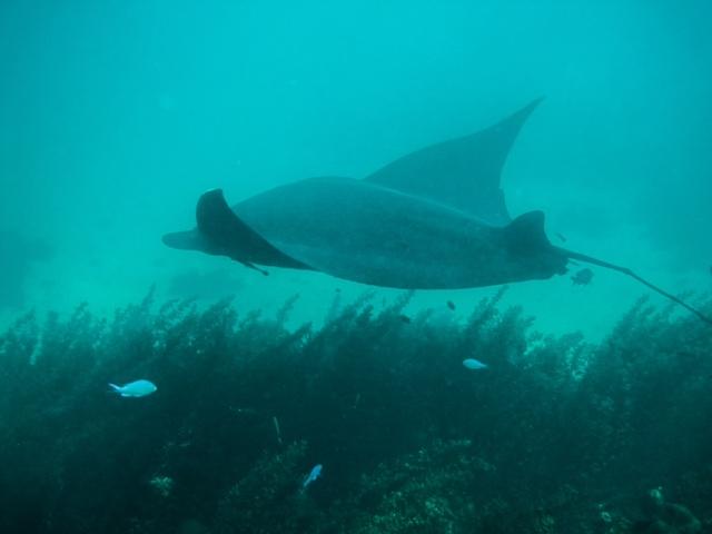Coral Bay:  Swimming with MantaRays