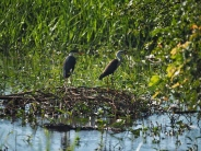 Night Heron & Egret