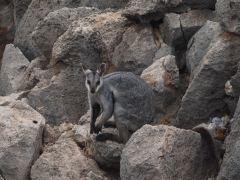 Rockstar Wallaby