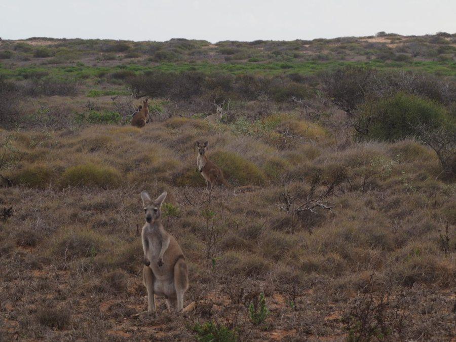 Kangaroos and Wannabes