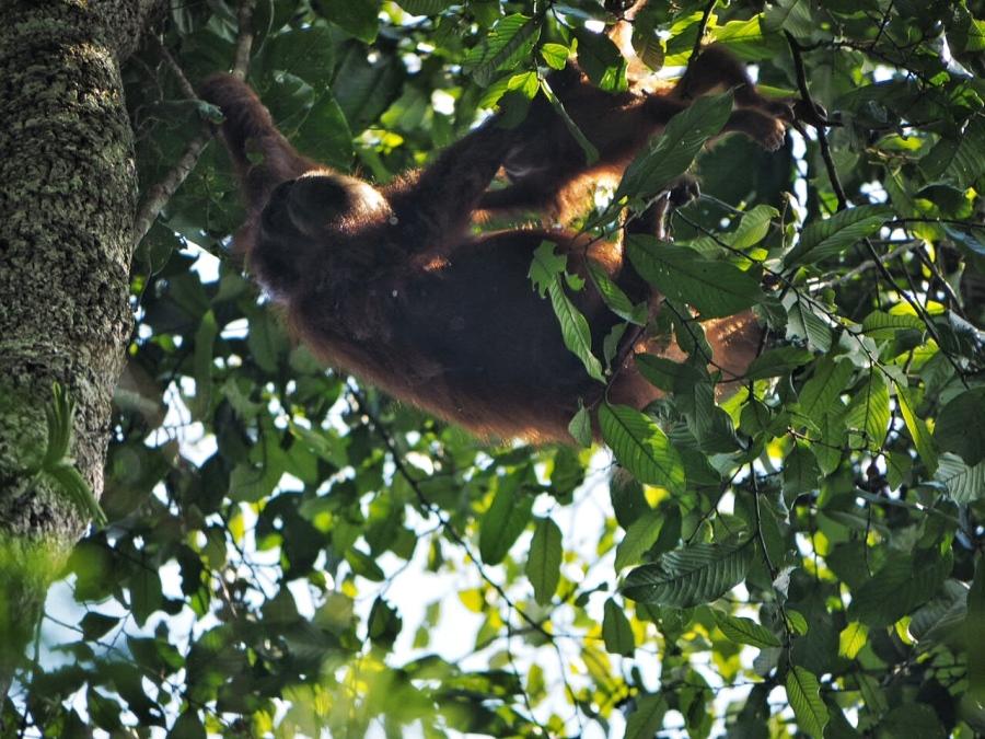 Sumatra: Chasing WildOrangutans