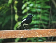 Pied Robin