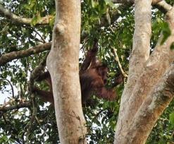 Mama Orangutan