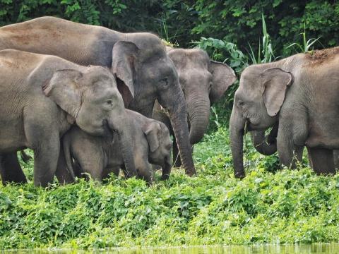 Herd of Pygmies