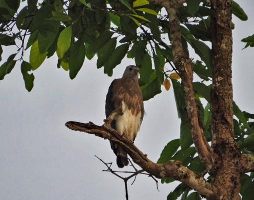 Some bird of prey
