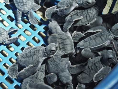 New hatchlings ready for release