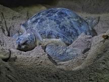 Female green turtle
