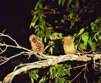 Buffy Fish Owls