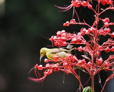 Femal Brown-Throated Sunbird