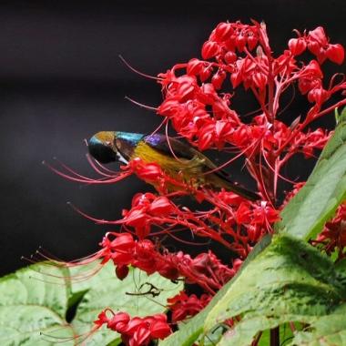 Male Brown-Throated Sunbird