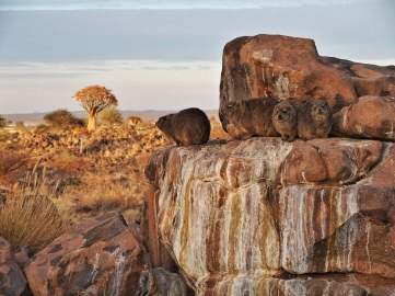 Family of Rock Hyrax