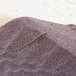 Lizard near our campsite