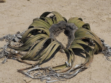 The bizarre Welwitschia tree