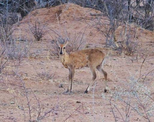 Common Duiker-The same animal that JoJo was eating