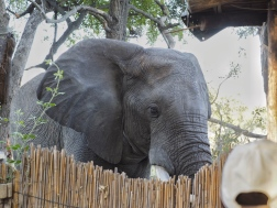 Elephant visiting the camp during morning breakfast