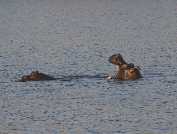 Hippo opening its mouth is a warning