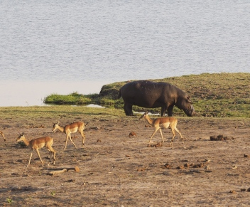 Hippo with Impalas