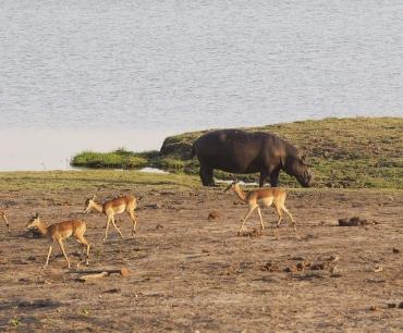 Hippo with Impalas