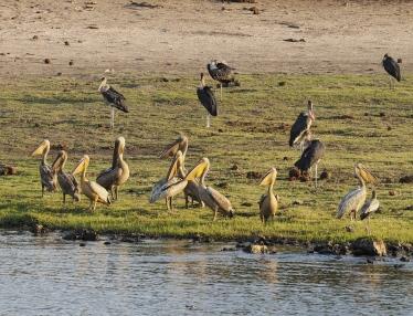 Pelicans & Maribou Storks