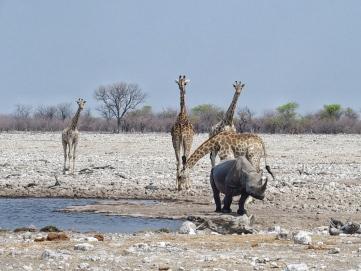 Giraffes & Rhino