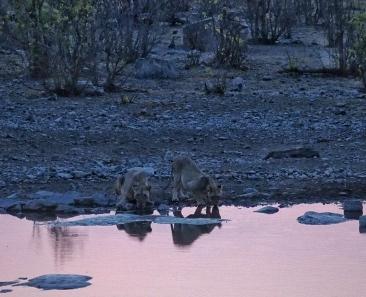 Lions at Halali Waterhole