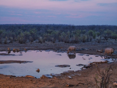 Lion and Rhino at Halali Waterhole