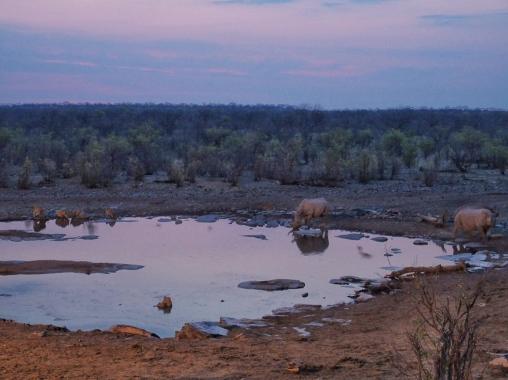 Lion and Rhino at Halali Waterhole