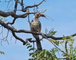 African Hornbill