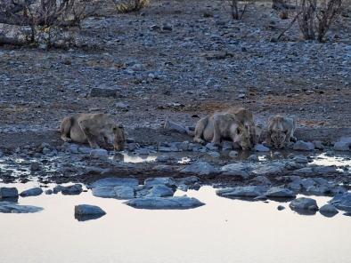 Mother & Cubs @ Halali