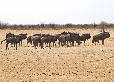 Wildebeast migrating to the watering hole