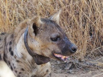 Pooh the Hyena