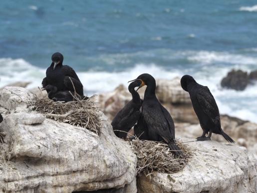Black Cormorants