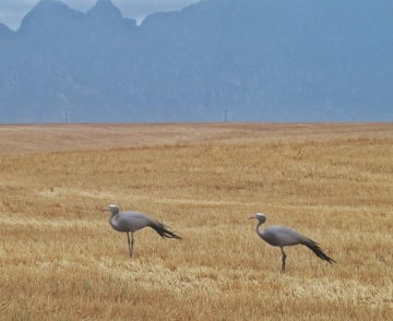 Blue Crane National Bird of South Africa