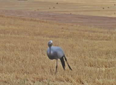 Blue Crane National Bird of South Africa
