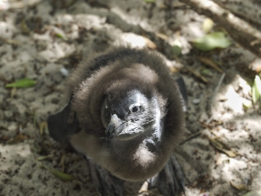 Boulder Beach Penguin