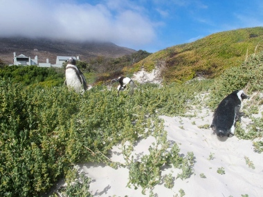 Boulder Beach Penguin Colony