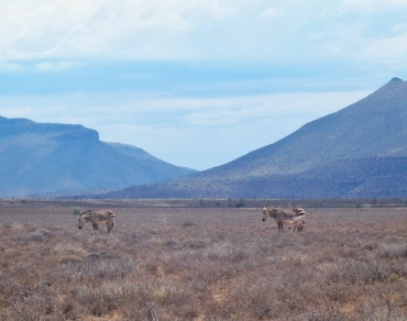 Cape Mountain Zebras and Baby